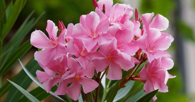 Gražuoliai oleandrai