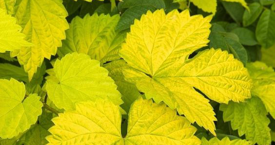 Apyniai auksiniais lapais