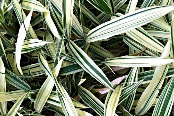 Bambukų pievelė